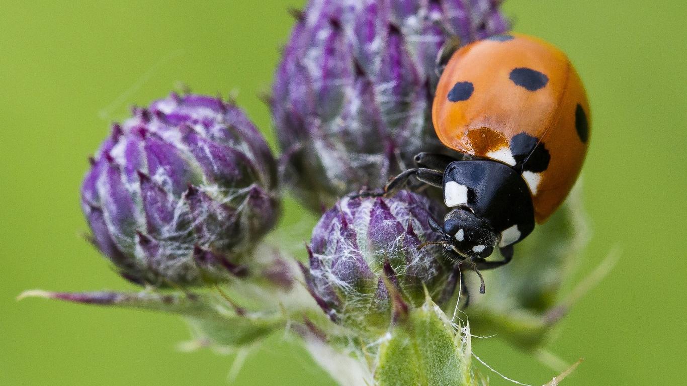 ladybrid on purple thistle buds